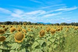 sunflowers.jpg - 1