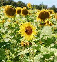 sunflowers.jpg - 10