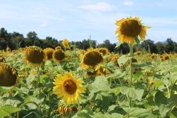 sunflowers.jpg - 12