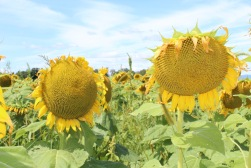 sunflowers.jpg - 13