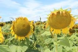 sunflowers.jpg - 14