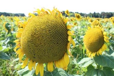 sunflowers.jpg - 15
