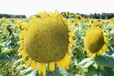 sunflowers.jpg - 16