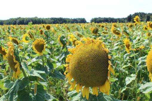 sunflowers.jpg - 17