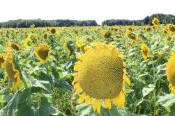 sunflowers.jpg - 18