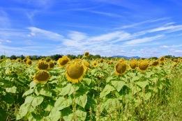 sunflowers.jpg - 2