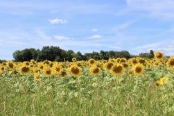 sunflowers.jpg - 20