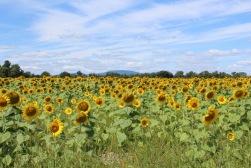sunflowers.jpg - 25