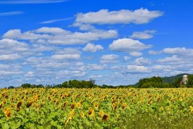 sunflowers.jpg - 26