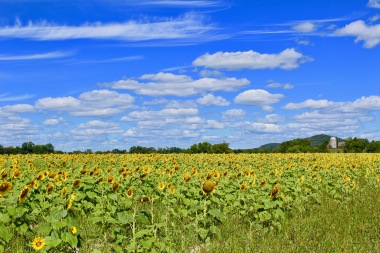 sunflowers.jpg - 27