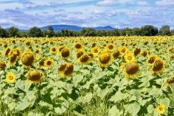 sunflowers.jpg - 29