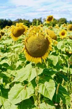 sunflowers.jpg - 3