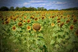 sunflowers.jpg - 30