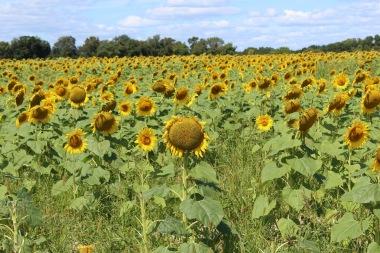 sunflowers.jpg - 31