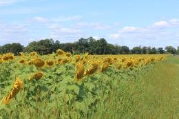 sunflowers.jpg - 4