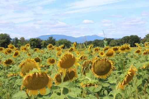 sunflowers.jpg - 6